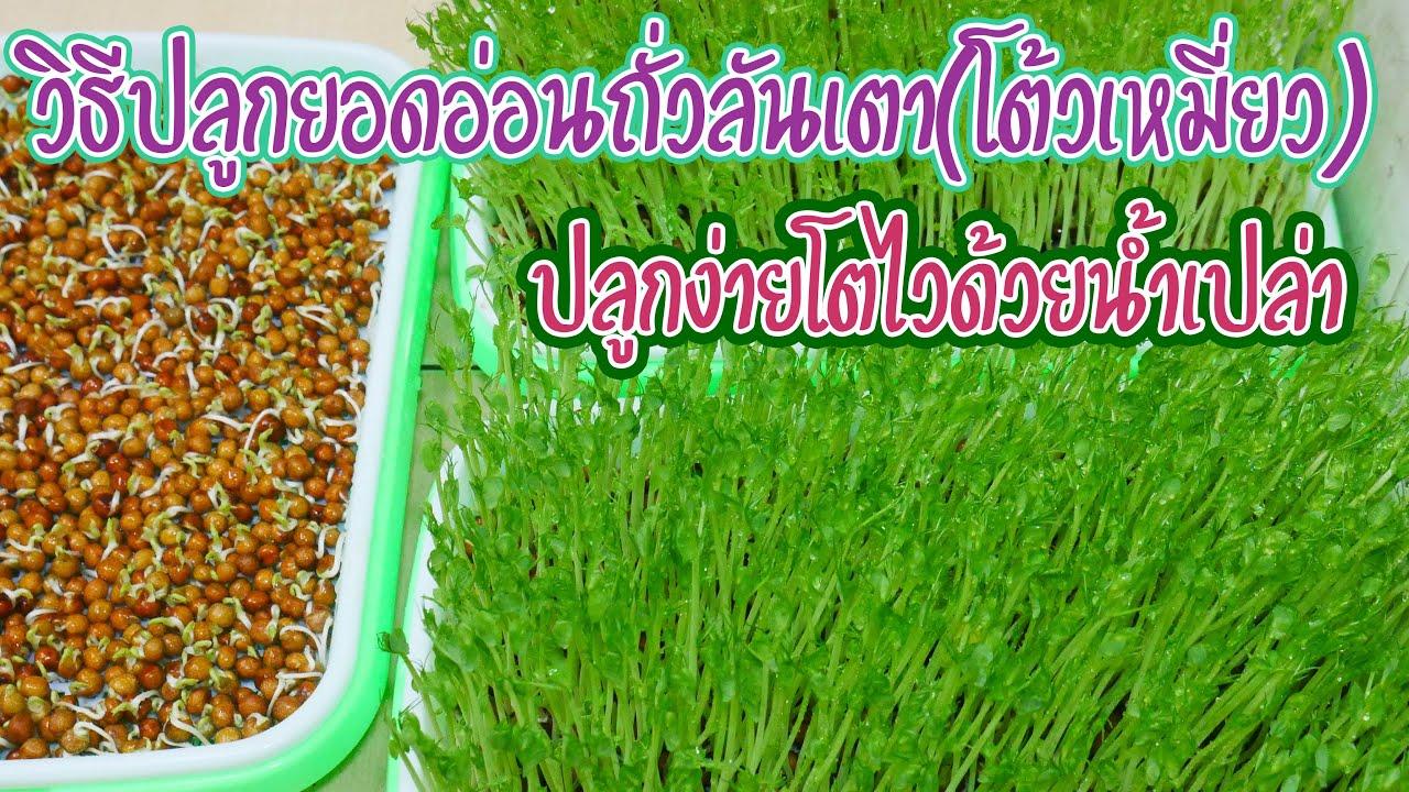 วิธี ปลูกยอดอ่อนถั่วลันเต่า( โต้ ว เหมี่ยว ) ไม่ ใช้ ดิน ต้นสวยกรอบหวานอร่อย