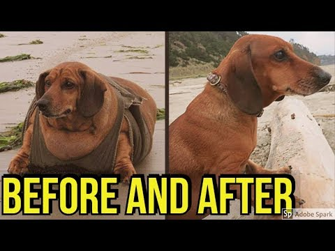 15 fat dogs weight loss before and after transformations