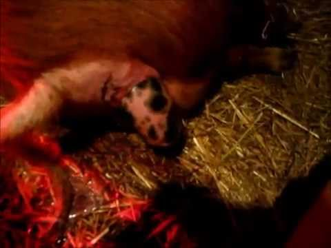 pig-giving-birth-for-the-first-time