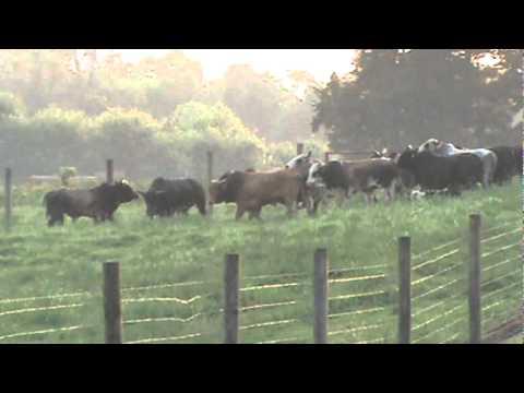 kelpie cowdogs (penning bucking bulls)