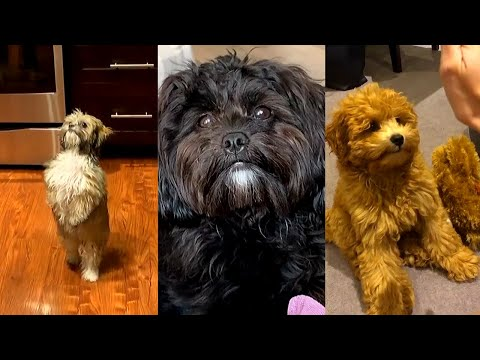 Aww Cute Puppies doing funny things Shih Poo breed Videos Compilation 2020