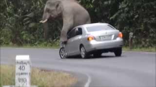 �������� ���� Видео дня! Слон набросился на машину! ������