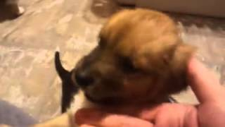 """a"" Puppies - Coastal German Shepherd Rescue Orange County"