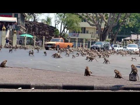 В Таиланде местных жителей буквально терроризируют обезьяны.