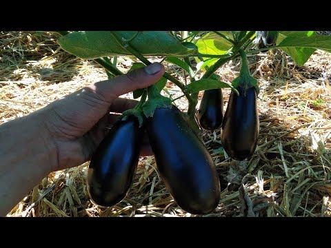 Вопрос: Как вырастить баклажан, без теплицы?