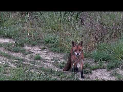 Mladá liška
