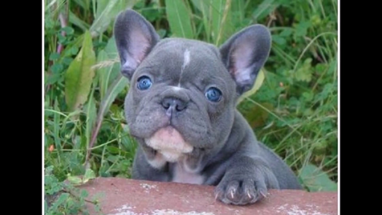 Grey French Bulldog Blue Eyes Youtube