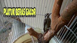 Platuk Beras Gacor/Buat Masteran