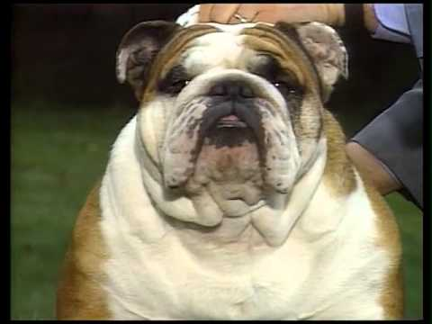 Bulldog - AKC Dog Breed Series