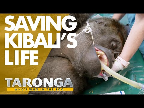 Taronga Vets Operate On A Silverback Gorilla | Taronga: Who's Who In The Zoo