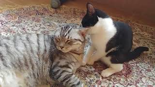 Кошки ласкаются