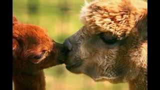 Животные целуются 1 прикол