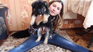 Щенки Восточно-европейской овчарки 3 кобеля