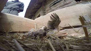 Z kamerą wśród zielononóżek kuropatwianych