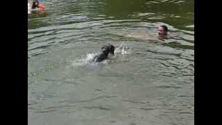 Standard Schnauzer Swimming