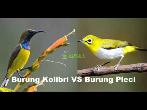 Suara Burung Pleci VS Burung Kolibri