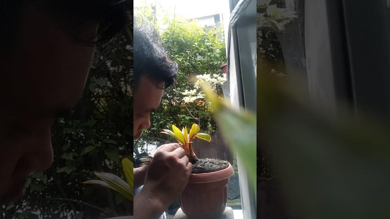 Cara Penyayatan Bonsai Kelapa Mini By Siswoyo Pradjadinata
