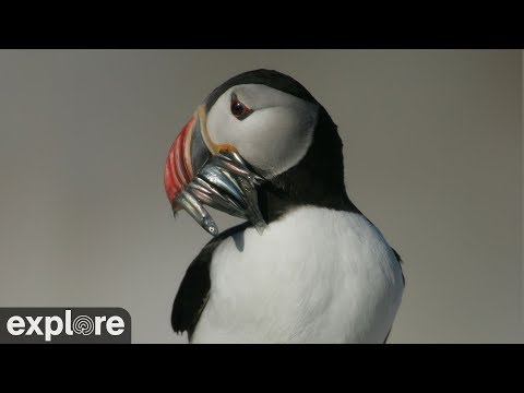 Puffin Cam - Live video of wild Puffins in Maine | Explore org