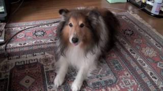 放置されて退屈している、実家のアホ犬です。