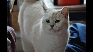 Беременность кошек. Первые признаки. Беременна ли кошка
