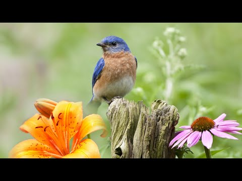 """Peaceful Instrumental Music, Relaxing Nature music 'Song Birds in Spring"""" By Tim Janis"""