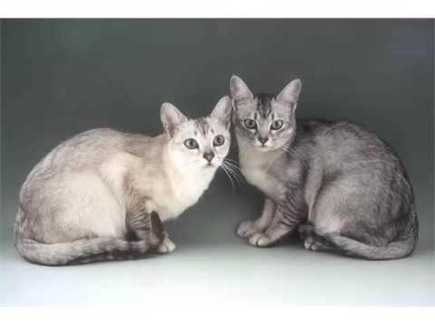Burmilla Brown - Cat Pictures