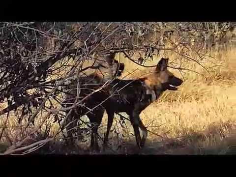 Pastor aleman apareandose funnydog tv - Animales salvajes apareandose ...