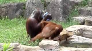 فيديو   سبحان الله   القرد يفعل ما يفعله الإنسان www.atyaaf.com