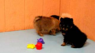 Pomeranian,puppies, For, Sale, In, Los Angeles, California, Ca, Visalia, Thousand Oaks