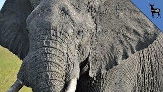 World's Biggest Elephant Murdered