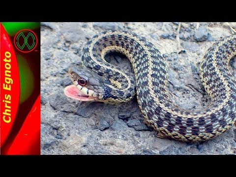 All About Eastern Garter Snakes (with A Secret)