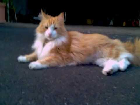 Cool Oscar, red norwegian forest cat