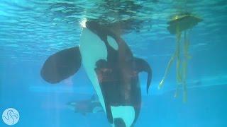 Seaworld Claims Their Orcas Are Healthy
