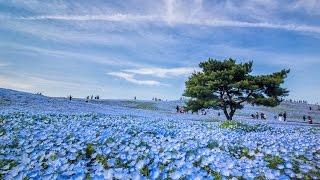 [ 4K Ultra HD ] 青い絶景 ひたち海浜公園のネモフィラ - Nemophila Hills at Hitachi Seaside Park -  (shot on NX1) ネモフィラの丘 検索動画 1