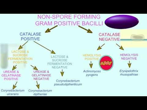 FLOWCHART OF BACTERIAL TESTS: GRAM POSITIVE BACILLI - YouTube