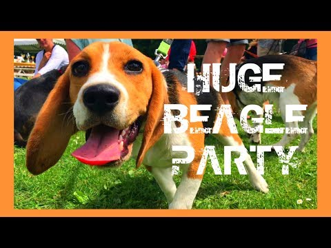 Huge Beagle Event : puppies , a ballpit , pool , mini games , lure coursing...