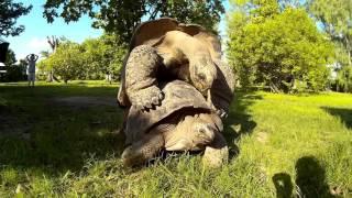 Giant Aldabra Land Tortoise - Hard Shell XXX Action #2