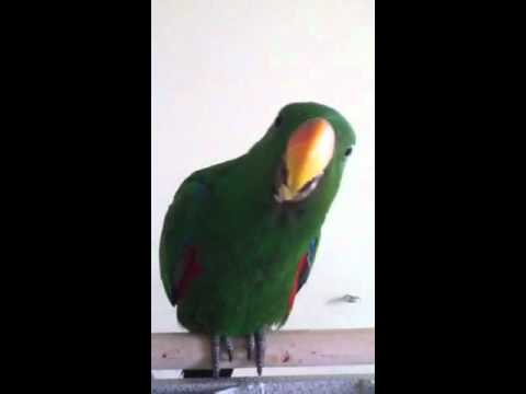 Baxter our 6 month old eclectus parrot