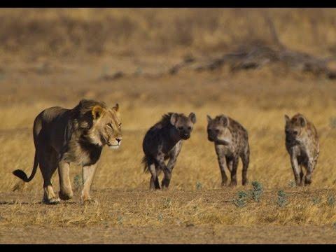 African Wild Dog Friends With Hyena