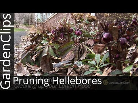 Pruning Hellebores - Cleaning up your Lenten Rose in the Spring - How to prune Hellebores