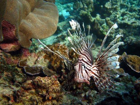 【SSTV】 Dwarf Lionfish | Aquarium Requirement | Aquarium Pet
