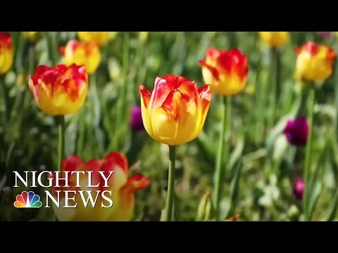 Michigan Town Celebrates Spring With 4,500,000 Tulips | NBC Nightly News
