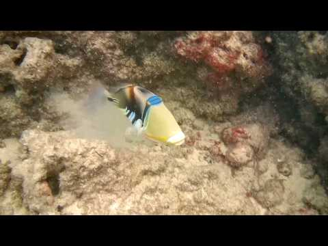 Humuhumunukunukuapua'a (Picasso Triggerfish) In Hawaii - Akaso Brave 4 Video Sample!