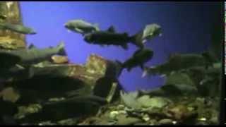 подводный мир Байкала  underwater world of the lake Baikal(В лимнологическом музеи в специальных аквариумах в условиях приближенных к естественным содержатся множе..., 2014-01-26T13:24:33.000Z)