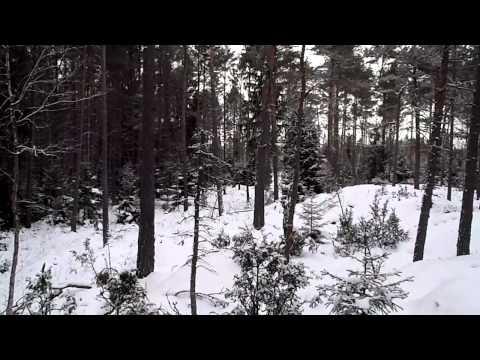 Luzernerstövare Mimmibackens Molly jagar hare i åländsk skog