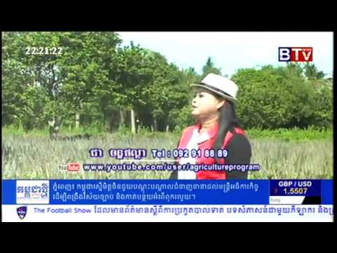 Cambodian Agriculture News   Pineapple Farming in Cambodia   YouTube