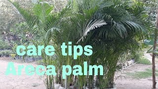 Areca Palm care tips (Hindi)
