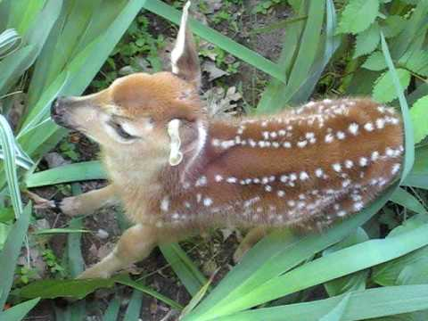 Adorable fawn! Goffstown, NH