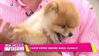 Güzelliği dillere destan Pomeranian Boo yavruları