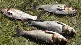 Ловля толстолобика на самодельный технопланктон. Fishing for silver carp in technoplants.